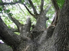 Mature White Oak